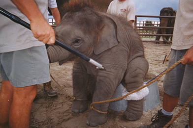 Photo of a baby elaphant, tied down during training