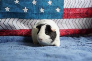 Volunteer Day with Austin Guinea Pig Rescue (2 Shifts)